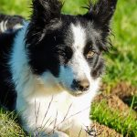 Llenda, border collie