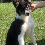 zaz, border collie